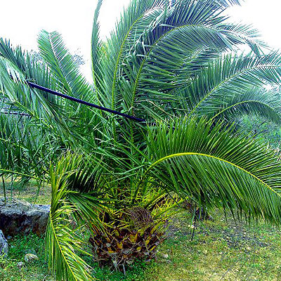 Endoterapia come lotta al punteruolo rosso delle palme - Punteruolo rosso in casa ...