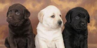 Labrador: protagonista nella vita delle famiglie